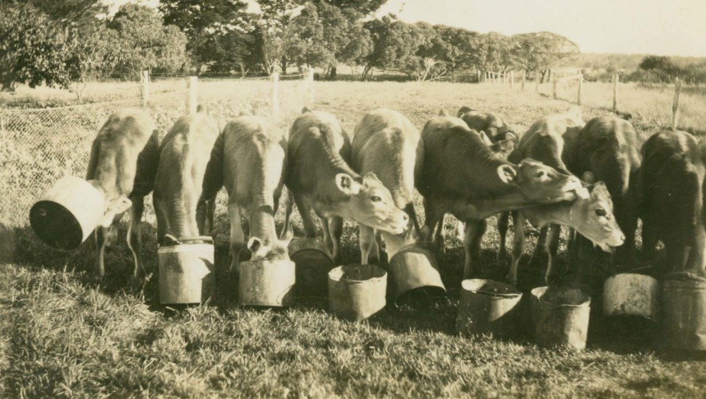 Feeding Calves Thomson's farm Cashmore 1935
