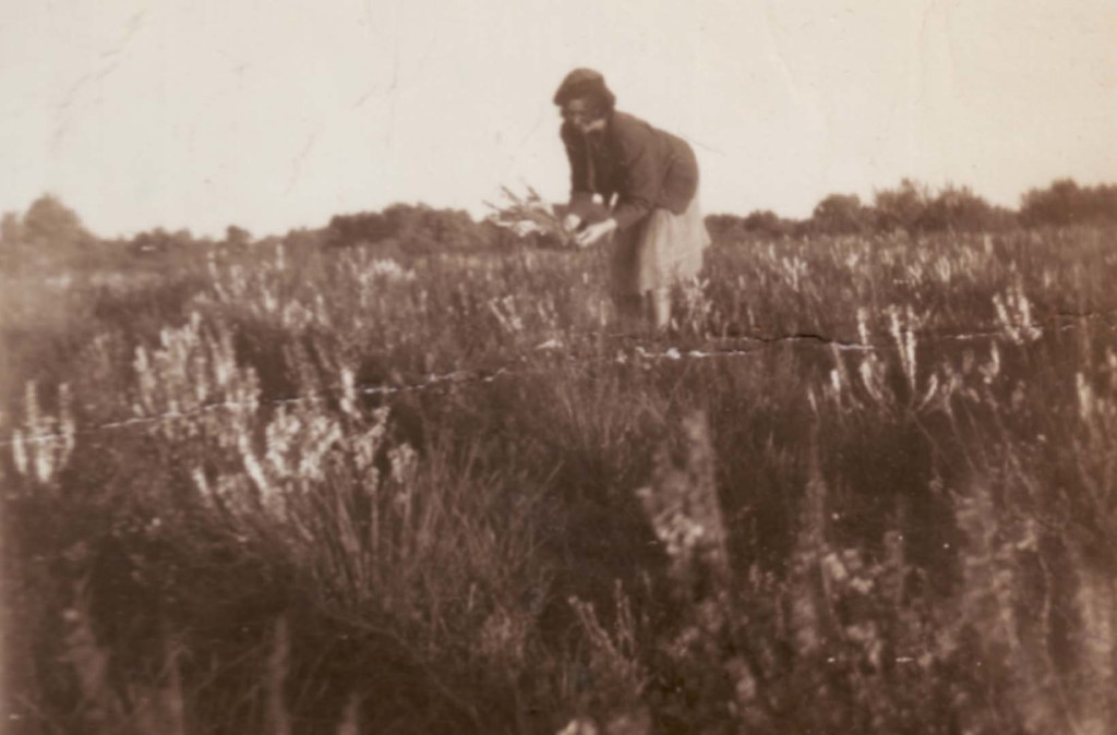Mrs Adams picking heath Mt Richmond 1940